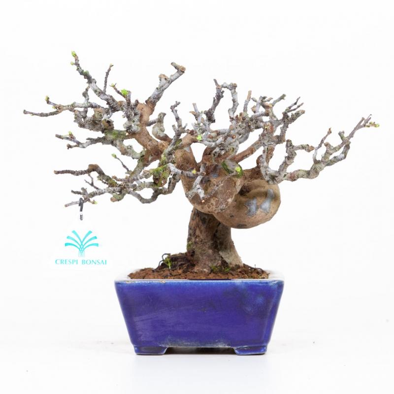 Pseudocydonia - Cognassier - 21 cm