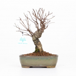 Ulmus parviflora - 24 cm