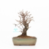 Ulmus parviflora - Olme - 24 cm