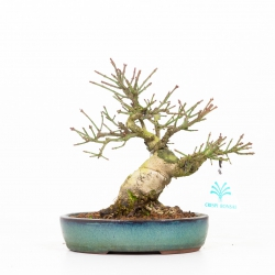 Euonymus - Evonimo - 20 cm