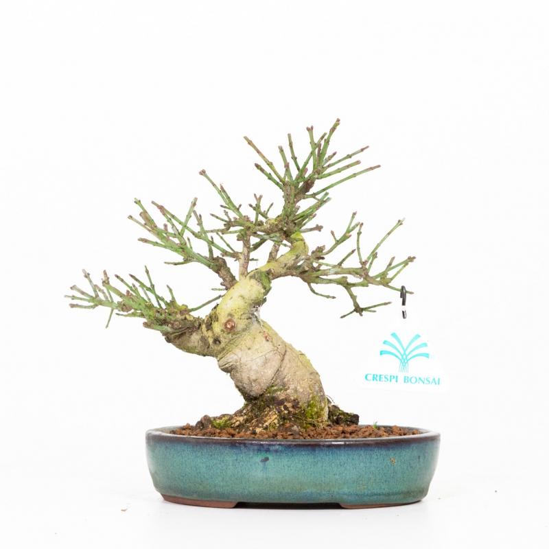 Euonymus - Fusain - 20 cm