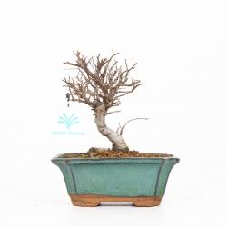 Ulmus parviflora variegato - 21 cm