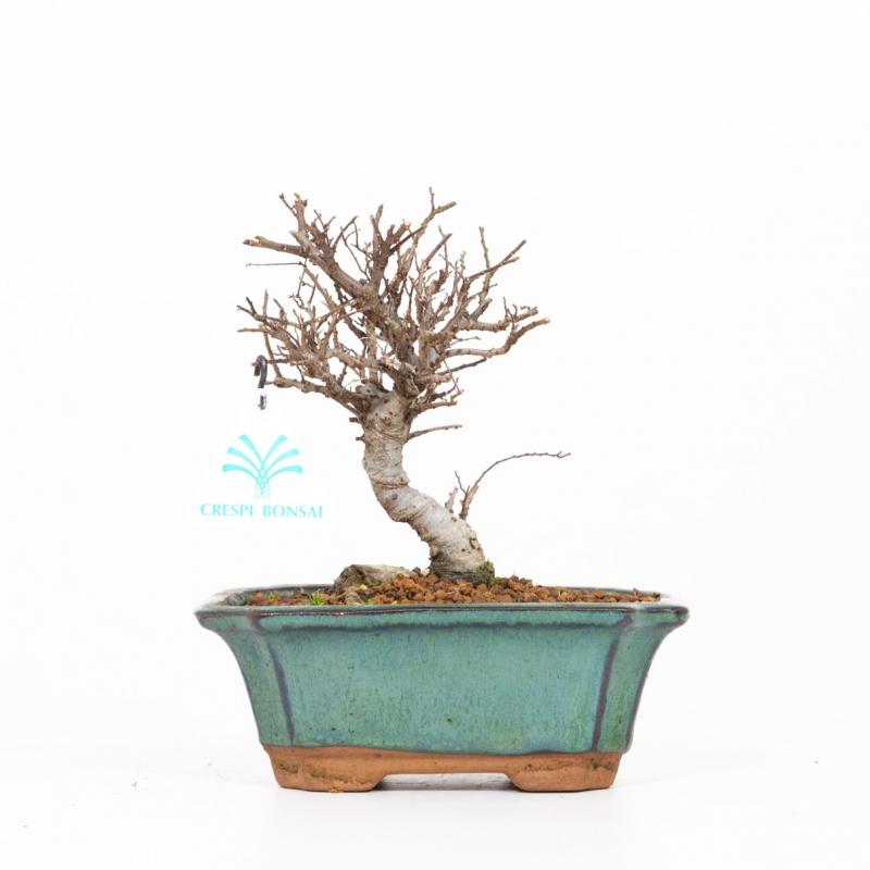 Ulmus parviflora variegato - Olmo - 21 cm