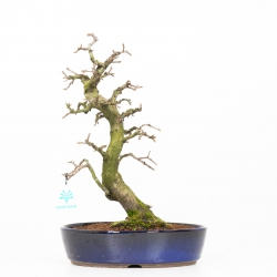 Diospyros kaki rhombifolia - 35 cm