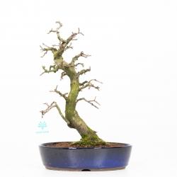 Diospyros kaki rhombifolia - Figuier caque - 35 cm