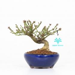 Euonymus alatus - Spindle 14 cm