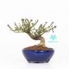 Euonymus alatus - Evonimo - 14 cm