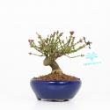 Euonymus alatus - Fusain ailé - 14 cm