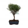 Syzygium - 30 cm