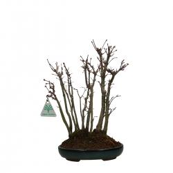 Acer palmatum viridis - Érable - 26 cm