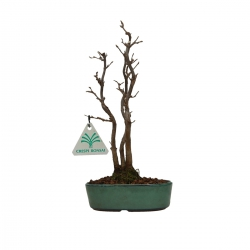 Acer buergerianum - Acero - 22 cm