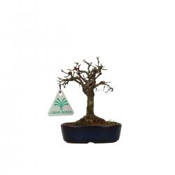 Zelkova serrata - Orme - 13 cm