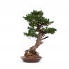 Pinus pentaphylla - Pino - 94 cm