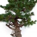 Pinus pentaphylla - Pine - 94 cm
