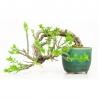 Jasminum nudiflorum - Winter jasmine - 11 cm