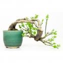 Jasminum nudiflorum - Jasmin d'hiver - 11 cm