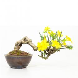 Jasminum nudiflorum - Jasmin d'hiver - 9 cm