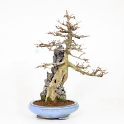 Acer buergerianum - maple - 65 cm