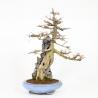 Acer buergerianum - érable - 65 cm