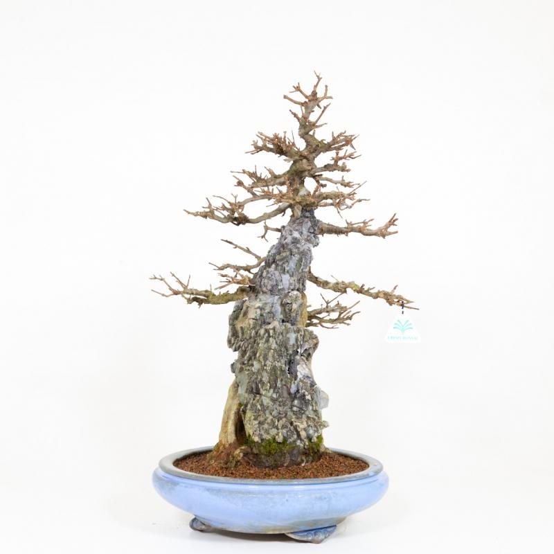 Acer buergerianum - acero - 65 cm