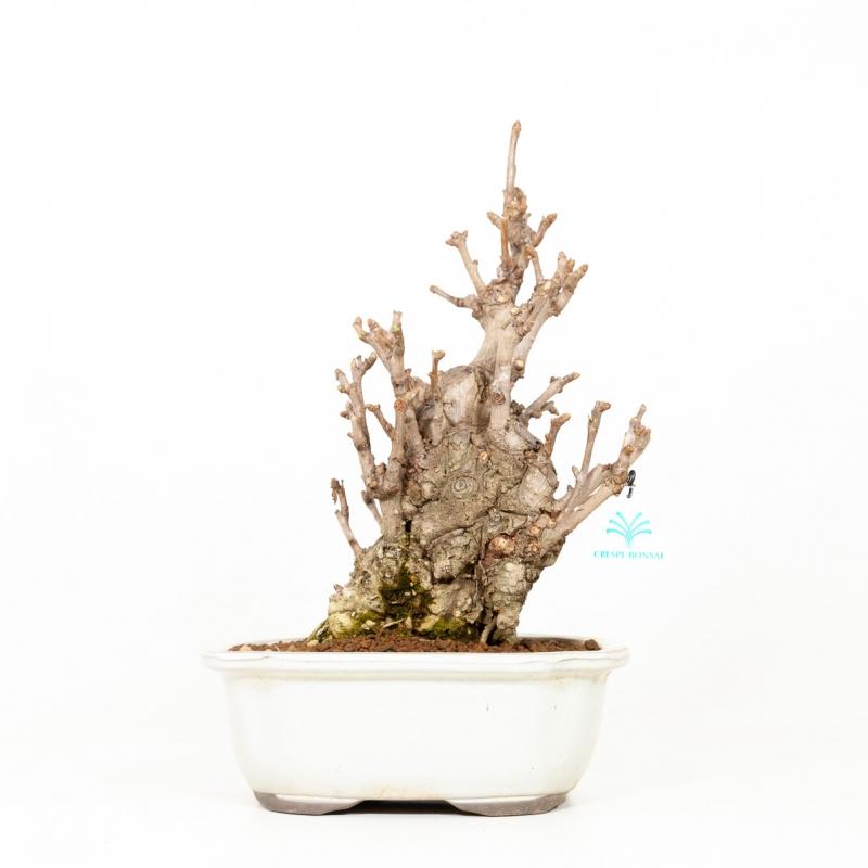 Ginkgo biloba - 41 cm