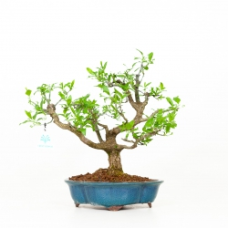 Euonymus - Fusain - 35 cm