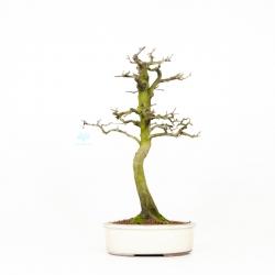 Diospyros kaki - Oriental persimmon - 44 cm