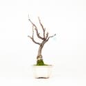 Wisteria floribunda - Glicine - 41 cm