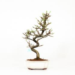Euonymus alatus - Fusain ailé - 49 cm