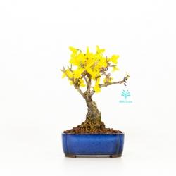 Forsythia - 20 cm