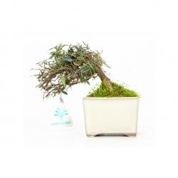 Trachelospermum asiaticum - 13 cm