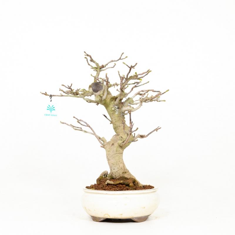 Magnolia kobus - 43 cm