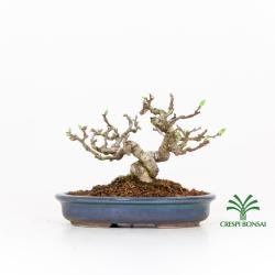 Celastrus orbiculatus  - Celastro - 16 cm
