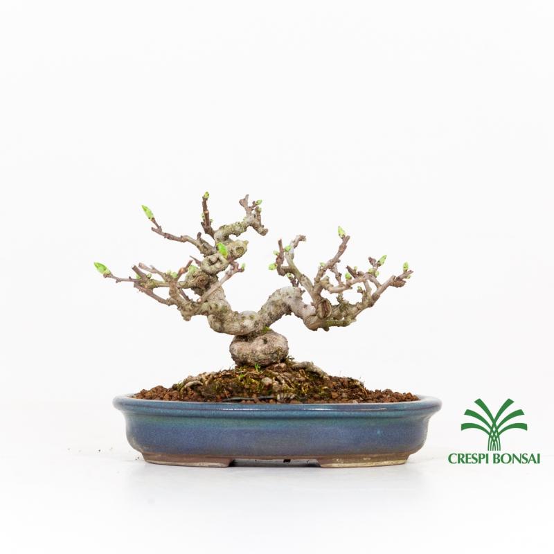 Celastrus orbiculatus  - Oriental bittersweet - 16 cm