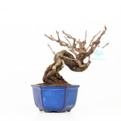 Kadsura japonica - 22 cm