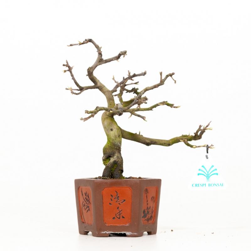 Diospyros kaki - Cachi - 26 cm