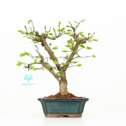 Euonymus - Spindle - 24 cm
