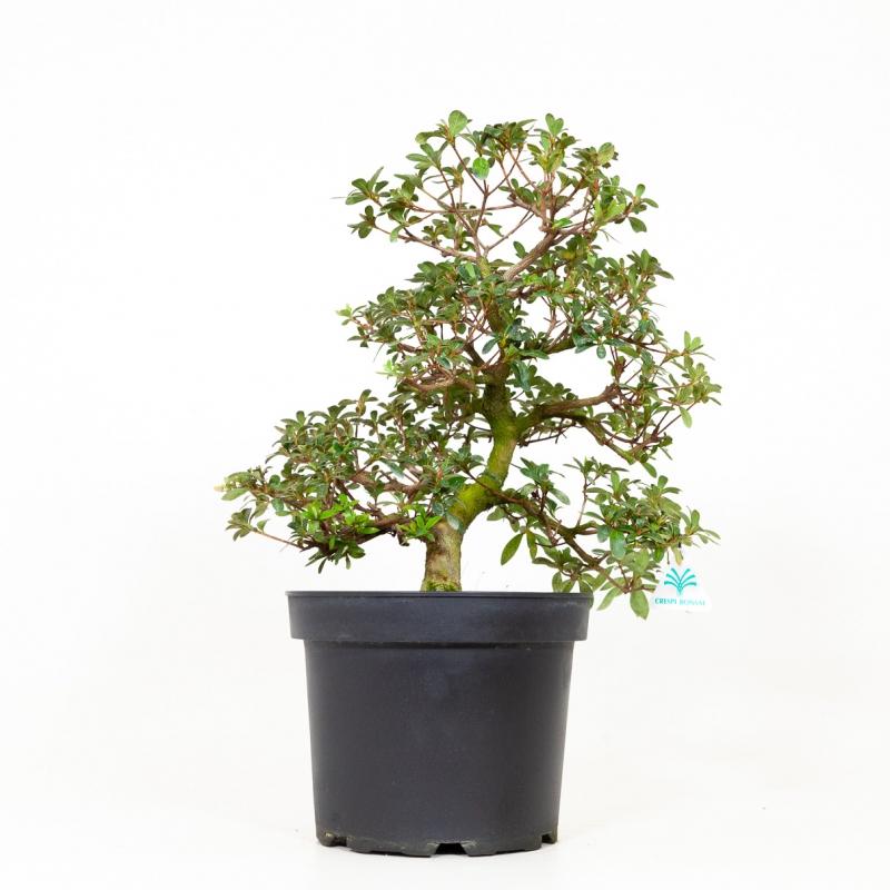Azalea Yata-no-Sai - 47 cm
