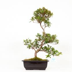 Azalea Sakurahime - 47 cm