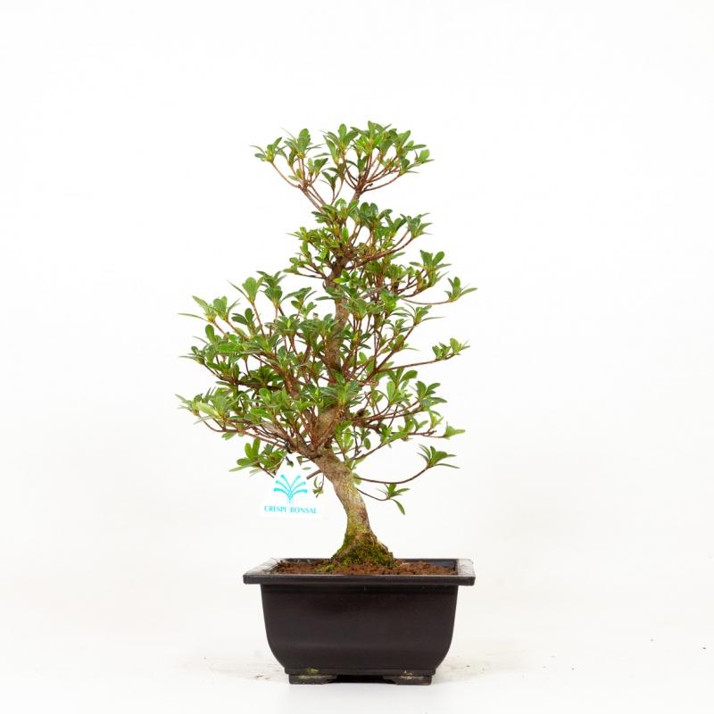 Azalée Akemi-no-Tsuki - 40 cm