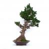 Pinus pentaphylla - Pino - 106 cm