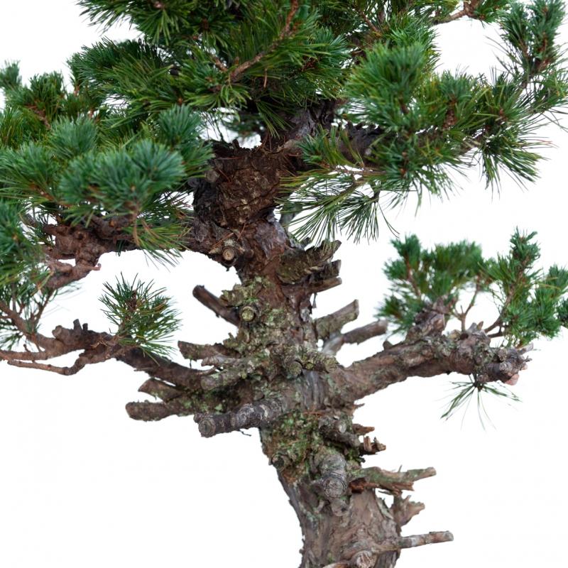 Pinus pentaphylla - Pin - 106 cm