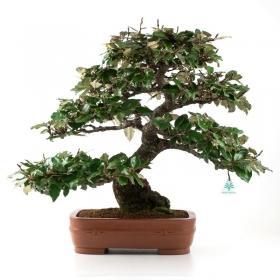 Elaeagnus - Olivagno - 53 cm
