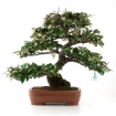 Elaeagnus - Silverberry - 59 cm