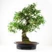 Elaeagnus - Silverberry - 77 cm