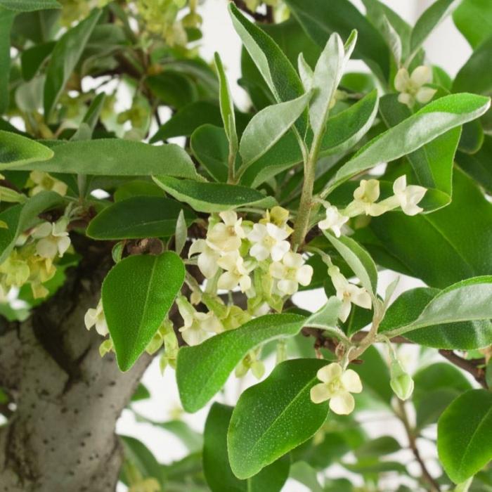 Elaeagnus - Olivagno - 70 cm