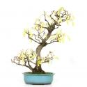Corylopsis spicata - 61 cm