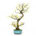 Corylopsis spicata - Winter hazel - 61 cm