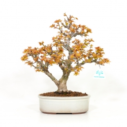 Acer palmatum kotohime - Acero - 31 cm