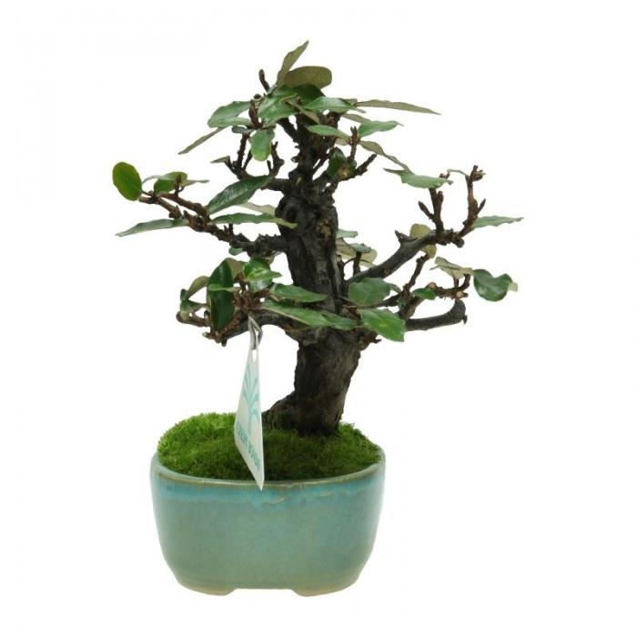 Elaeagnus pungens - Olivagno pungente - 15 cm